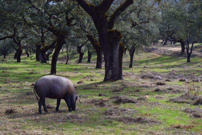 La Sierra de Aracena la cuna del jamón Ibérico
